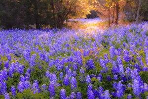 TexasWildflowers