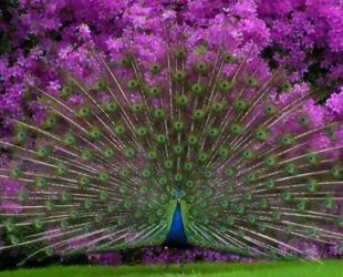 1435030905_pink_blue_peaccok