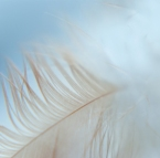 White Feather Close Up