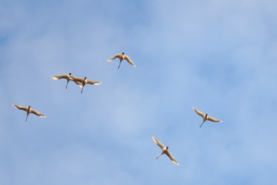 mb111geese