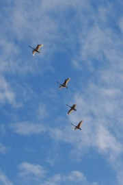 mb111geese2