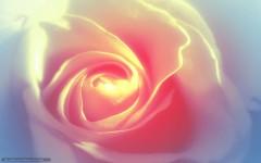 479017_roza_belaya_nezhnost_1680x1050_www_Gde-Fon_com