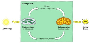 photosynthesis-vs-cell_med