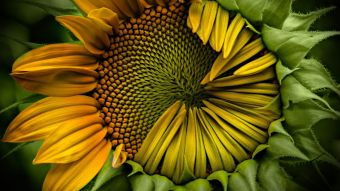 Sunflower-Wallpaper (1)
