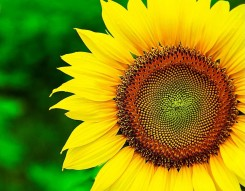 Sunflower-Wallpaper (2)